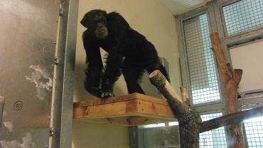 Szympans Patryk