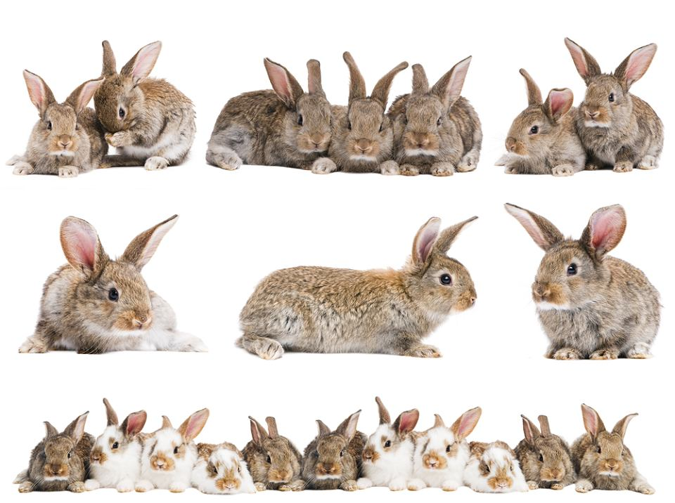króliki, królik