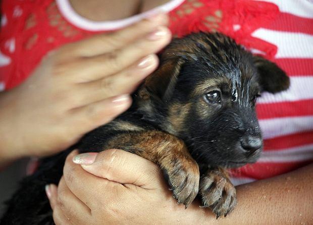W Tajlandii od lipca trwa powódź, z powodu której ponad 110 tysięcy ludzi musiało opuścić swoje domy. W katastrofie ucierpieli nie tylko ludzie, ale też zwierzęta. Na szczęście te psy mogły liczyć na właścicieli, którzy ratując dobytek nie zapomnieli o swoich najlepszych przyjaciołach