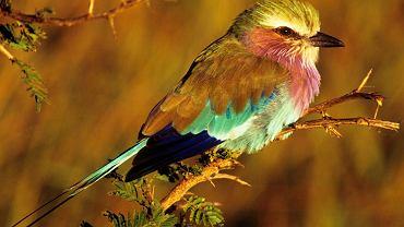 Senegambia, region w Afryce na terytorium Gambii i Senegalu, to królestwo egzotycznych ptaków i zimowisko ptaków migrujących z Europy