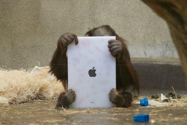 Orangutan z ogrodu zoologicznego w Milwaukee bawi się tabletem