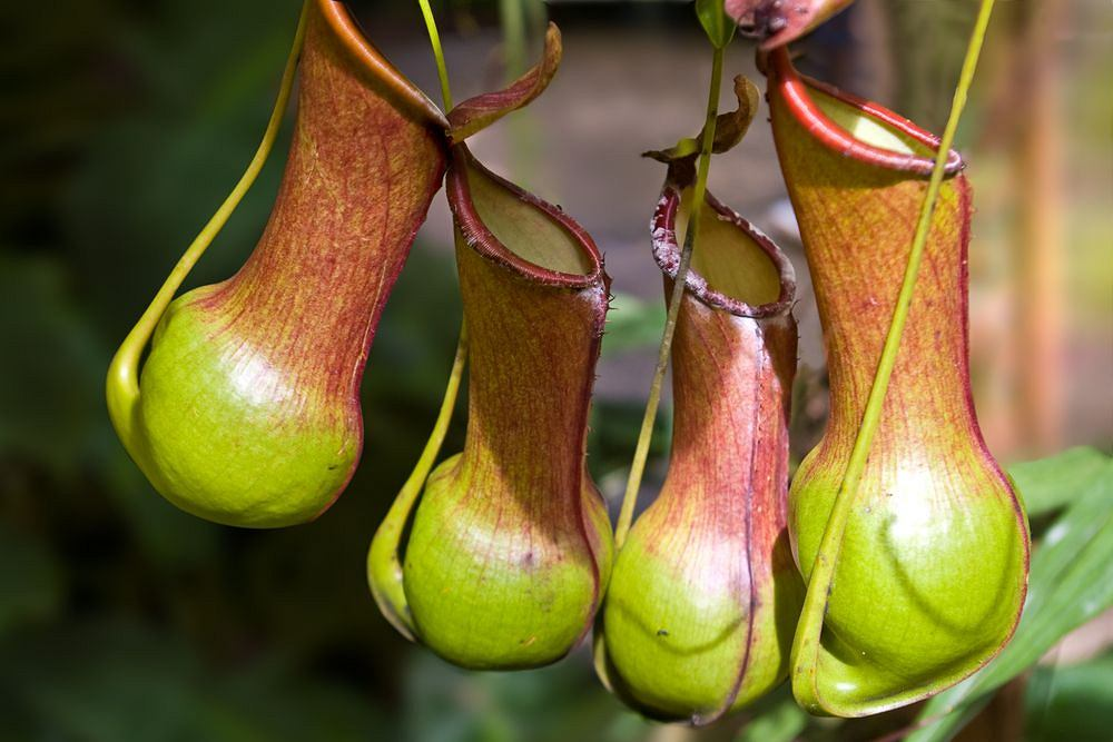 rośliny rosnące penisa)