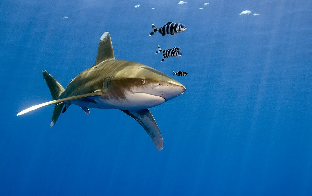 Egipt rekiny