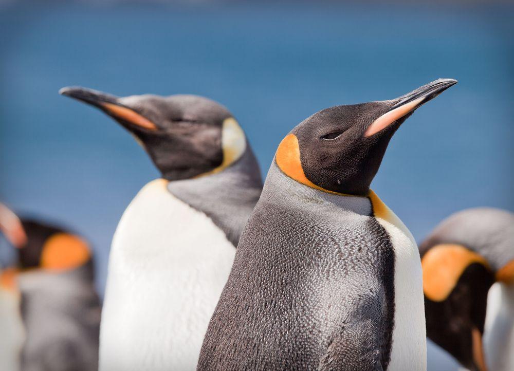 Natura Australii - pingwiny królewskie / fot. Shutterstock
