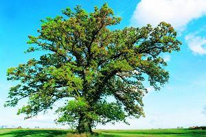 Niezwykły horoskop celtyckich kapłanów. Sprawdź, jakie drzewo Ci sprzyja