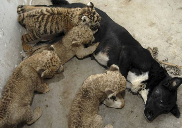 Pies, trzy psy i tygrys fot. AP/