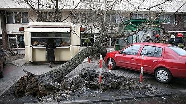 Skutki wichury z marca 2010 roku. Zwalone drzewo przy ul. Madalińskiego