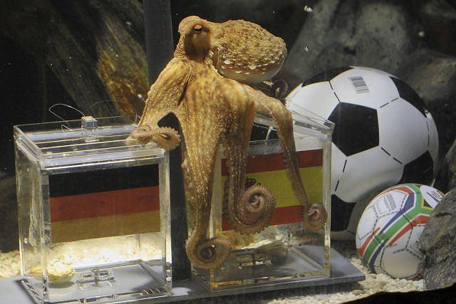 Paul przewidział wynik meczu Niemcy-Hiszpania - fot. AP
