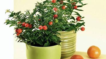 WYSTRÓJ WNĘTRZ - ZIELEŃ. Psianka dobrze rośnie w pomieszczeniu o wysokiej wilgotności powietrza. Lubi częste zraszanie. Rozmnażamy ją z nasion. Psianka pieprzowa ma małe białe kwiaty i pomarańczowe owoce