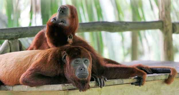 Peru: Małpy na farmie motyli koło Iquitos.