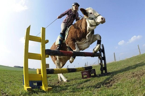 Regina Mayer, 15-latka z Niemiec, tak wyszkoliła swoją krowę, że ta nie tylko pozwala na sobie jeździć, lecz również skacze przez przeszkody.