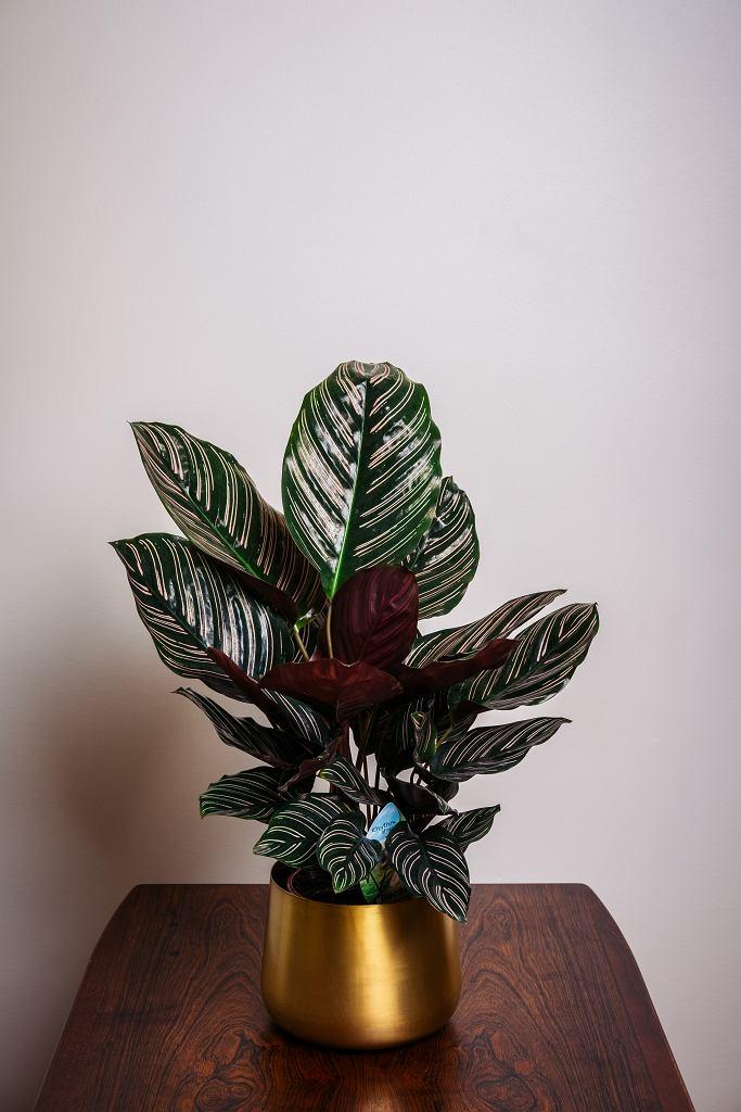 Kwiat kalatea jest bardzo wymagającą rośliną. Zdjęcie ilustracyjne
