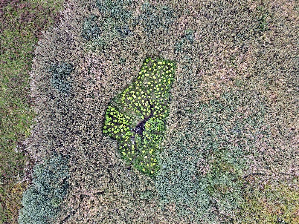 Trzy plantacje marihuany zlikwidowane przez legionowskich policjantów - zdjęcie z drona