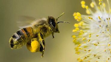 Robotnica pszczoły miodnej zbierająca pyłek na tylnych odnóżach.
