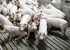 Mięso tanie jak dawno nie było, rolnicy porzucają hodowlę świń