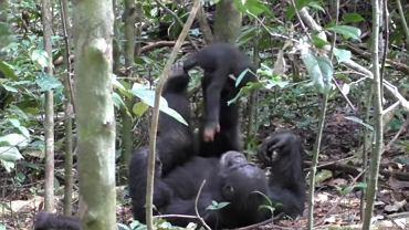 Szympans bawi się z maluchem w 'samolot'