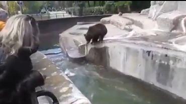 Mężczyzna wtargnął na wybieg dla niedźwiedzi i próbował podtopić zwierzę