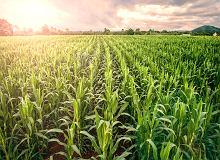 GMO pod lupą
