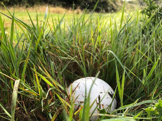 Czasznice olbrzymie najczęściej rosną na łąkach, pastwiskach i ogrodach, szczególnie tam gdzie gleba jest kwaśna i bogata w azot.