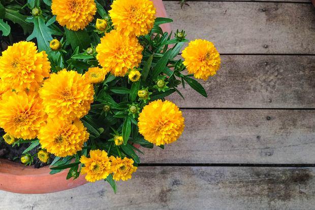 Najpiękniejsze jesienne kwiaty na balkon. Stwórz uroczy i przytulny zakątek w ciepłych barwach jesieni!