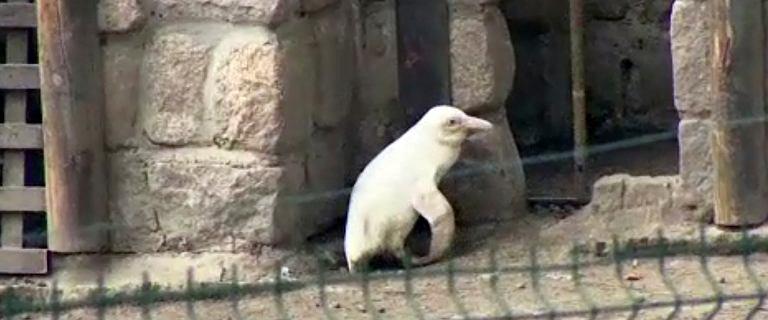Sensacja na skalę światową. W Gdańskim zoo urodził się pingwin albinos