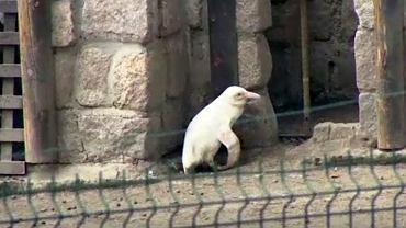 Pingwin albinos z gdańskiego ZOO