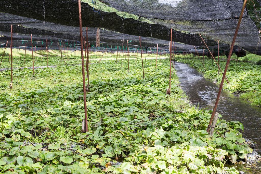 Chrzan japoński to bardzo 'kapryśna' roślina, wymagająca specjalnych warunków uprawy.