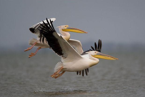 Pelikany w Delcie Dunaju. Rumunia / shutterstock