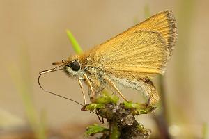 Dlaczego motyle przylatują do błotnistych brzegów kałuż? [Kocham owady]
