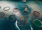 """Hodowlane łososie i krewetki, które kupujesz z certyfikatem """"zrównoważonego rozwoju"""", kryją mroczny sekret"""