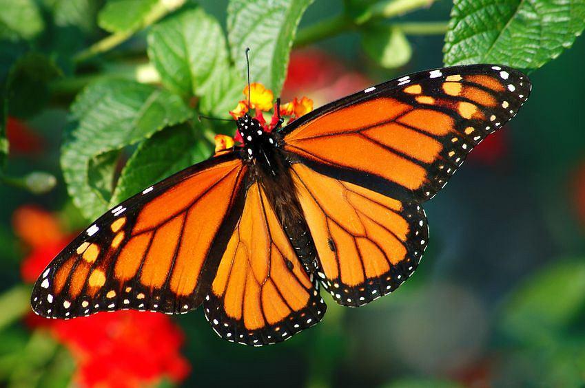 Słodziak tygodnia - motyl monarcha. Naukowcy właśnie potwierdzili ...