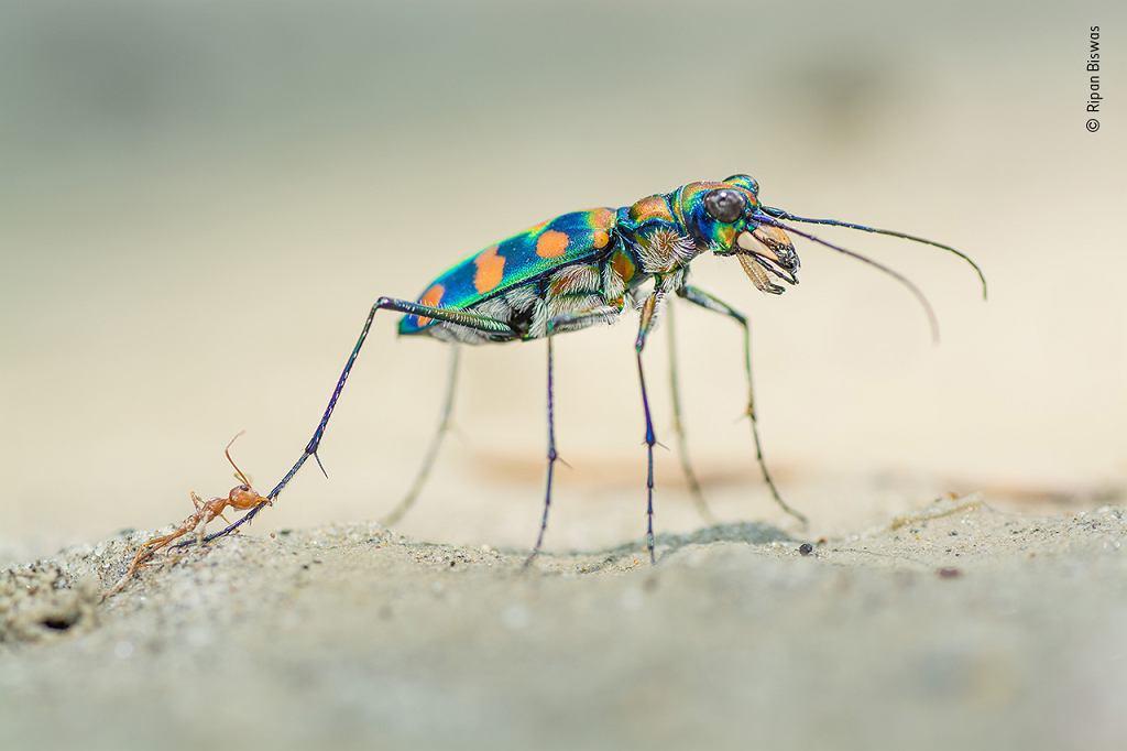 Wildlife Photographer of the Year 2020: mrówka i chrząszcz