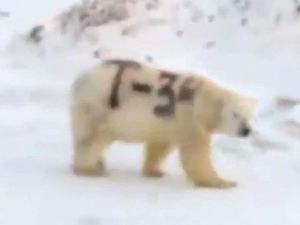 Niedźwiedź polarny z napisem 'T-34' na boku.