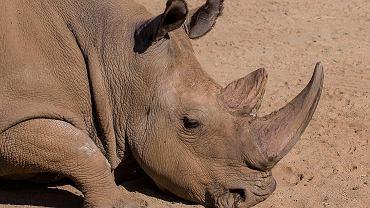 Nosorożec Angalifu z San Diego