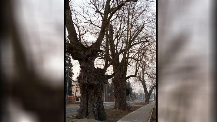 Zdjęcie dołączone do petycji o wstrzymanie wycinki drzew przy drodze 722 w Prażmowie