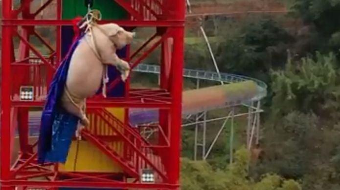 W Chinach zmuszono świnię do skoku na bungee.