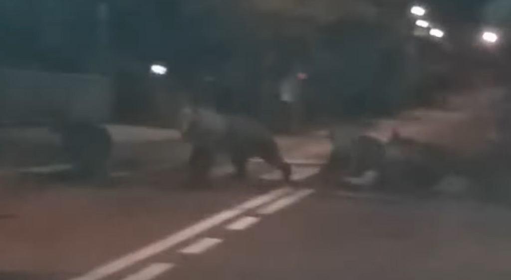 Niedźwiedzie w Zakopanem