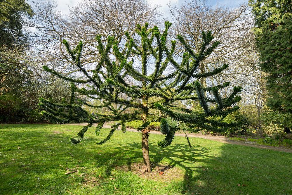Araukaria to wyjątkowe drzewo iglaste. Zdjęcie ilustracyjne