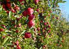 Mimo suszy szykują się rekordowe zbiory owoców. Sadownicy między młotem a kowadłem