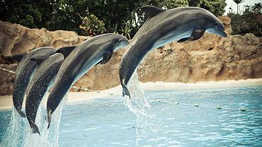 """Delfiny zawiązują boysbandy. Wspólne """"śpiewanie"""" i """"tańczenie"""" pozwala im redukować stres"""