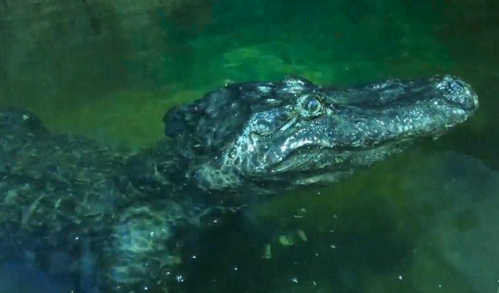 W moskiewskim zoo zmarł aligator Saturn, zwany 'aligatorem Hitlera'