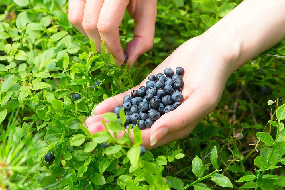 Mycie owoców, nie tylko tych zerwanych w lesie, to konieczność. Inaczej łatwo o zatrucia pokarmowe lub zarażenie się niebezpiecznym pasożytem