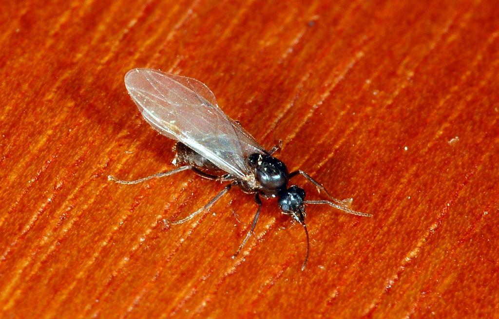 Latające mrówki opanowały Polskę
