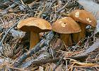 Miodówka grzyb - jak ją rozpoznać oraz co można z niej przyrządzić?