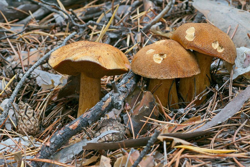 Miodówka (maślak pstry), znana również pod nazwami łosiak, murzynek czy hubal, to gatunek grzyba z rodziny maślakowatych
