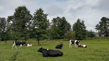 Krowy na pastwisku - zdjęcie ilustracyjne