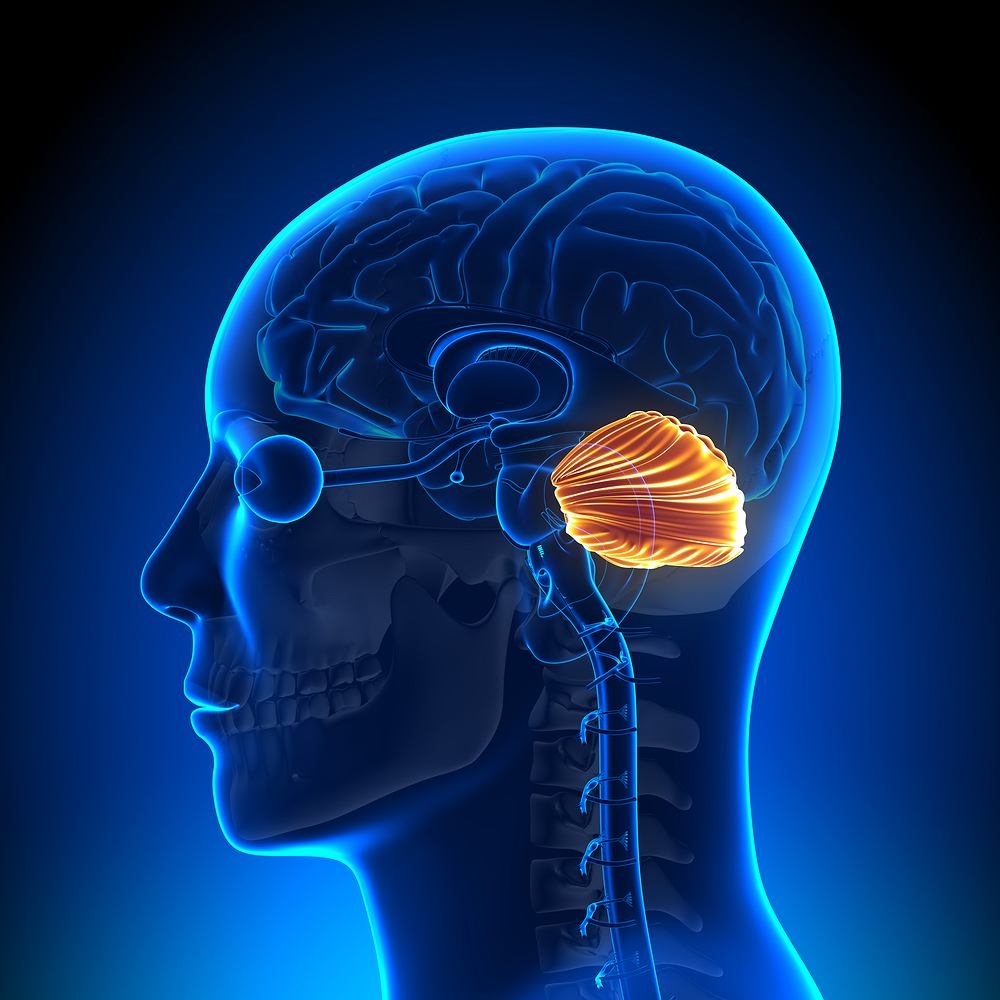 Działanie móżdżku polega na odbieraniu, zbieraniu i analizowaniu informacji płynących z ciała, a następnie decydowaniu, jak przełożyć je na konkretne, widoczne efekty.