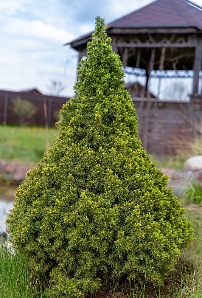Świerk Conica. Zdjęcie ilustracyjne