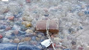 Martwe foki znalezione w Oksywiu. Do szyi zwierząt przywiązany był sznur z cegłą.