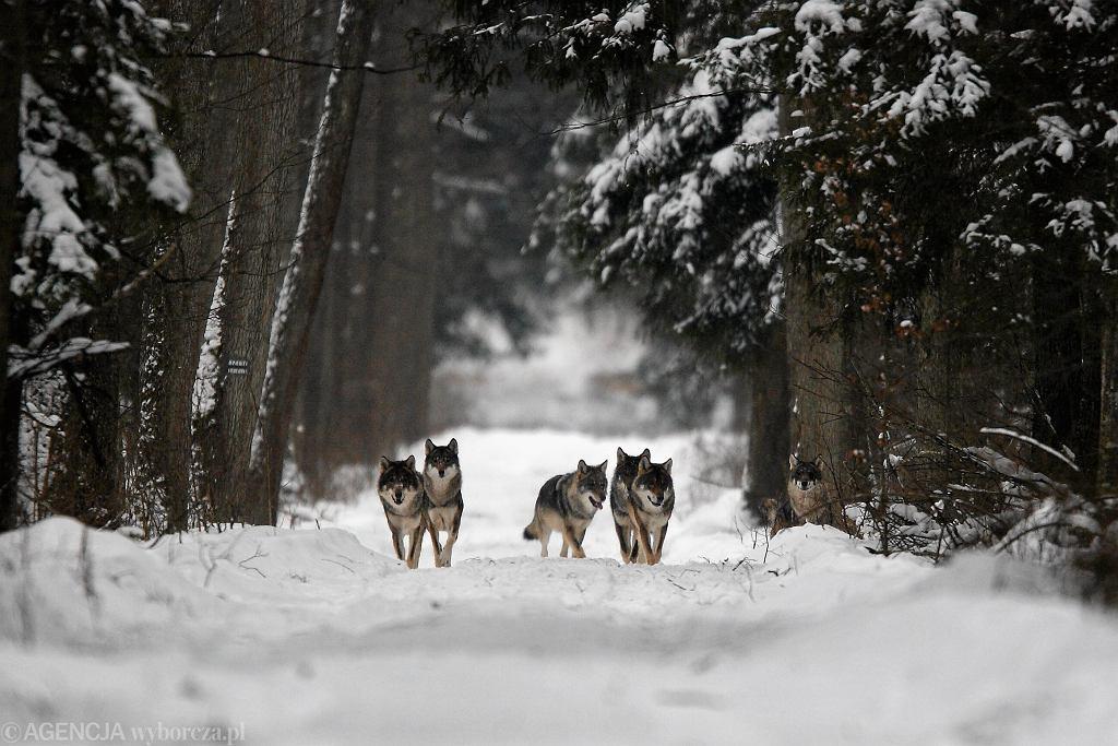Wilki podlegają w Polsce ścisłej ochronie